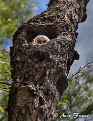 Hello little owl! (Anne Marie Fraser) Tags: baby tree cute bird nature hole nest wildlife raptor owl barred