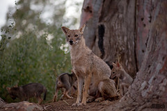 family - golden jackals, wilder Goldschakal, Canis aureus syriacus @ Tel Aviv, Israel 2016, June urban nature (Jan Rillich) Tags: life park family urban sun nature beautiful beauty animal june fauna digital photography eos golden living israel photo telaviv spring flora foto fotografie jackal image jan wildlife familie young picture free sunny grooming pack urbannature pup guest wilder offspring tier pflege yarkon ramatgan aureus welpe 2016 canis 2015 animalphotography syriacus hayarkon goldenjackal canon85mm asiaticjackal commonjackal reedwolf nahalhayarkon goldschakal 5dmarkiii janrillich rillich canisaureussyriacus