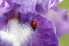 Escalade... (mars-chri) Tags: iris macro coccinelle valdoise auverssuroise irisiades