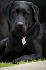 (Mab.B) Tags: dog black labrador negro can perro mascotas profundidaddecampo airelibre nikond3200 expresion cuatropatas