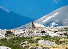 Mt Evans 4 (3rdtrick) Tags: colorado mountaingoats mtevans d800e nikon300f4pf 3rdtrickphotography
