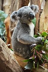 Eucalyptus , I love eucalyptus ! - Koala bear (Photography by Eric Hentze) Tags: bear travel color nature animal germany mammal deutschland photography zoo nikon outdoor natur leipzig koala planet eucalyptus marsupial animalplanet animale tier reise 2016 animalphotography tierfotografie eukalyptus sugetier zooleipzig tiefenschrfe koalabr beuteltier d7100  itsazoooutthere nikond7100 oobiooobi erichentze
