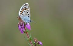 Silver-studded Blue (Plebejus argus) (Bob Eade) Tags: blue macro male westsussex heather butterflies lepidoptera micro heath heathland silverstuddedblue