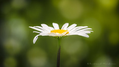 Dlicieuse marguerite (Bertrand Thifaine) Tags: fleur bokeh jardin marguerite insecte