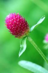 jewel (sunshadows) Tags: amaranth pink june2010 macro nature sonyalpha350 allrightsreserved fave green