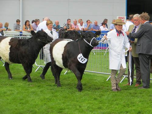the Belted Galloways, Royal Highland Show, June 2016