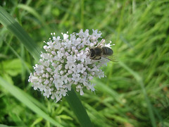 Unterwegs an der Limmat (Priska B.) Tags: wasser pflanzen wiese blumen zrich fluss biene limmat kanton dietikon