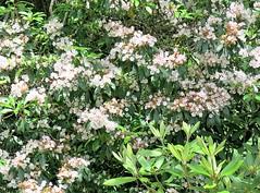 Swallow Falls SP ~ Mountain Laurel (karma (Karen)) Tags: swallowfallssp garrettco maryland bushes blossoms mountainlaurel 4summer