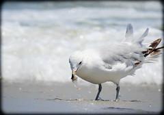 DSCN9859 (DianeBerky19) Tags: beach seagull gulls nikoncoolpixp900