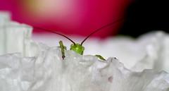Oh zut, je suis vu ! (Fabisa00) Tags: flower fleur spring withe grasshopper blanche bb cirquet sauretelle