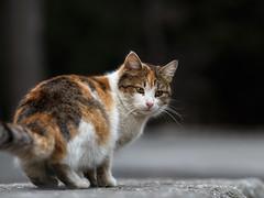 Street cat 141 (Yalitas) Tags: pet cats cat canon kat feline chat kitty gato felino katze katzen kot kedi kass gatta streetcat glckskatze kotka  kocka  katte  katzchen kottur