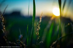 Beautiful Sunset (Diverse-Media.nl) Tags: sunset sky sun macro green grass set photography golden media diverse bokeh sony hour gras goldenhour arkel sonyalpha bokehlicious achterdijk sonya58 diversemedia diversemedianl dmnat