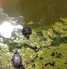 deux tortues bercy (alexandrarougeron) Tags: eau bercy paris exterieur bassin vase poisson parc jardin tortue animaux