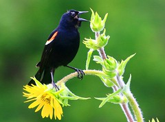 red-winged blackbird male on compass plant at Decorah Fish Hatchery IA 854A0927 (lreis_naturalist) Tags: county fish plant flower male reis iowa larry blackbird compass decorah redwinged hatchery winneshiek