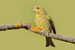 Verdilho - Greenfinch - Carduelis chloris (Yako36) Tags: bird portugal nature o wildlife natureza ave birdwatching alcochete nikonafs300f4 nikond7000
