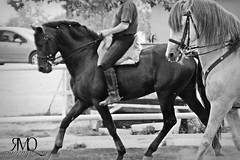 Caballos espaoles trabajando // Andalusian horses working (Marina Quilon Photography) Tags: horses bw horse caballo cheval caballos cavalos cavalo pferd equestrian equine chevaux andalusianhorse doma dressage equitacion caballosespaoles