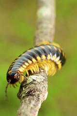 DSC_2548 (jacksl1) Tags: macro nikon insects millipede tokina100mmf28atxprod d7000