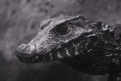 Sogno (DADAEOS) Tags: canon occhio animali biancoenero drago rettile caimano oasisantalessio ombraeluce eos5dmarkii