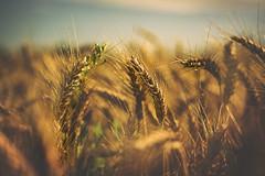 Ears in the Sun (Enricodot ) Tags: summer sun hot field yellow landscape estate ears erba giallo ear di campo calma cibo paesaggio grano pianta spighe allaperto profondit profonditdicampo ilobsterit enricodot