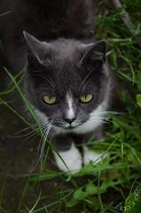 DSC_7970-6 (Kopiowanie) (Aga'Shots) Tags: pet cats macro cute eye nature grass animal cat kitty cateye
