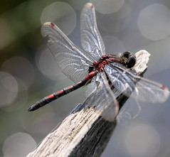 """""""Leucorrhinia rubicunda""""- Noordse witsnuitlibel (bugman11) Tags: macro animal animals fauna canon bug insect dragonflies dragonfly bokeh nederland thenetherlands insects bugs 1001nights thegalaxy leucorrhiniarubicunda platinumheartaward noordsewitsnuitlibel 100mm28lmacro 1001nightsmagiccity ruby10 ruby5 infinitexposure"""