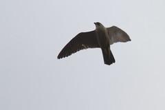 IMG_6906 Juvenile (gipukan (rob gipman)) Tags: holland tower netherlands eos fly toren nederland rover 7d falcon hunter juvenile amersfoort jong jager slechtvalk valk olv peregrinefalcon vliegen falcoperegrinus canon100400l langejan preybird kenkopro