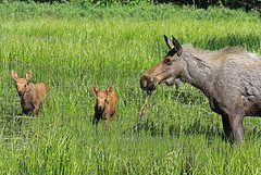 Another Cow Moose With Twins In The Bog Right Behind Our House (AlaskaFreezeFrame) Tags: moose cowmoose moosecalf calf calves baby canon alaska alaskafreezeframe anchorage nature outdoors wildlife 70200mm mammals herbivore animals plants dangerous telephoto water twins