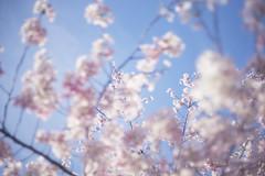 _DSC3687 (Kazu Sakai) Tags: flower color japan 50mm tokyo sony cherryblossom boke a7 cherryblossams f20 summar