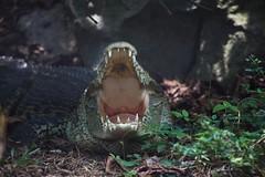 Can you please check my teeth? (meywd84) Tags: danger mouth reptile teeth malaysia crocodile