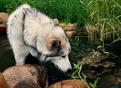 Cool Drink on a Hot Day (jayjay.and.the.wolf) Tags: wolf bluffs nature hiking dog malamute outdoors water pool pond
