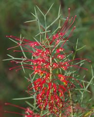 Grevillea dielsiana, Kings Park, Perth, WA, 18/05/16 (Russell Cumming) Tags: plant perth kingspark westernaustralia grevillea proteaceae grevilleadielsiana