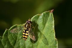 Hover Fly (Amar Sood) Tags: macro nature nikon wasp sigma d610 sigma105mm