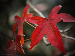 Autumn leaves_c (gnarlydog) Tags: autumn red detail leaves maple colorful bokeh australia manualfocus shallowdepthoffield vintagelens adaptedlens cinelens kodakcineektanon102mmf27