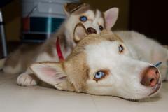 Maya soportando a Kyra! (Alyaz7) Tags: pets cute dogs puppy fun cachorro perros mascotas vr pequeo jugando divertido paying ternura mamehija rawquality huskysyberian nikond7200 flashyongnuoyn560ii lentenikonnikkorafs1855mm13556giidxvr