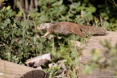 Rubino California Ground Squirrel leaping 20160612 Cuyamaca 201 (Ryan Rubino) Tags: california ground squirrel otospermophilus beecheyi jumping launching mid air