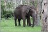 6236 - wild elephant (chandrasekaran a 38 lakhs views Thanks to all) Tags: wild india elephant nature canon sanctuary tamilnadu nilgiris eos400d masinakudi