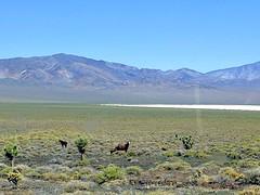 Wild horses in Nevada desert (ashabot) Tags: horses desert nevada