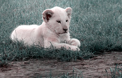 There's a New King in Town... (RALPHKE) Tags: new netherlands animal animals canon flickr king leo ngc lion newborn cubs lioncub limburg whitelion leeuw panthera 2016 mondoverde pantheraleo witteleeuw newking earthnaturelife canoneos750d