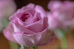 Mignonne allons voir si la rose... (Dolkar-photographe...) Tags: fleur rose canon 50mm t mignonneallonsvoirsirlarose