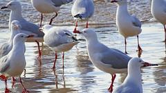 Chroicocephalus novaehollandiae_5 (Tony Markham) Tags: bird waves seagull gull northbeach seabird wollongong illawarra northwollongong silvergull chroicocephalusnovaehollandiae