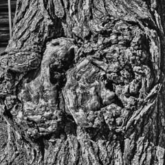 F5 Neopan 400 Gnarly Tree (oldnavychief 609) Tags: nikonf5 fujineopan400 epsonv700 film blackandwhite texture