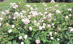 11822650_10153096006352076_2024846155604196259_n (jmac33208) Tags: park new york roses rose garden central schenectady