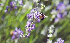 Lavender~ Two Bee (Karen McQuilkin) Tags: garden purple lavender bee karenmcquilkin