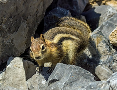 golden mantled ground squirrel - banff NP, canada (AB) 8 (Russell Scott Images) Tags: canada ab alberta banff rodents banffnationalpark goldenmantledgroundsquirrelcallospermophiluslateralis