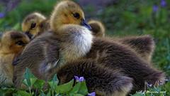 Gosling-Pile-UP (Aria (RJWarren)) Tags: bird nature canon midwest outdoor wildlife young iowa goose gosling immature juvenile canadagoose brantacanadensis t3i ankeny tamron150600mm
