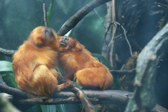Woodland Park Zoo - Golden Lion Tamarin (SpeedyJR) Tags: 2016janicerodriguez seattlewa woodlandparkzoo goldenliontamarin tamarins animals zoo seattlewashington washington speedyjr