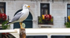 le gardien (ju.labs) Tags: couleurs colors mouette cormoran blanc white canon canon700d 55250 700d eos zoom italie italia bird oiseau europe gris grey focus finegold