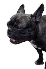 French bulldog on white background , isolated (leykladay) Tags: adorable animal black bulldog cute dog french happy head healthy little old pet pug puppy purebred shoe shoes steals white young