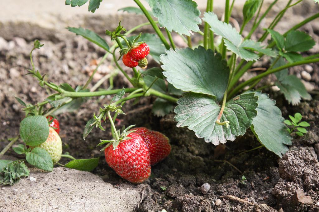 wann erdbeeren pflanzen amazing wann erdbeeren pflanzen with wann erdbeeren pflanzen cheap. Black Bedroom Furniture Sets. Home Design Ideas