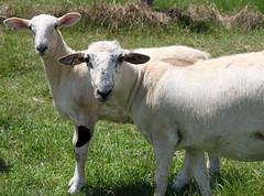 Ready to wean (baalands) Tags: hair sheep single lamb katahdin ewe yearling